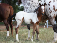horses with foal